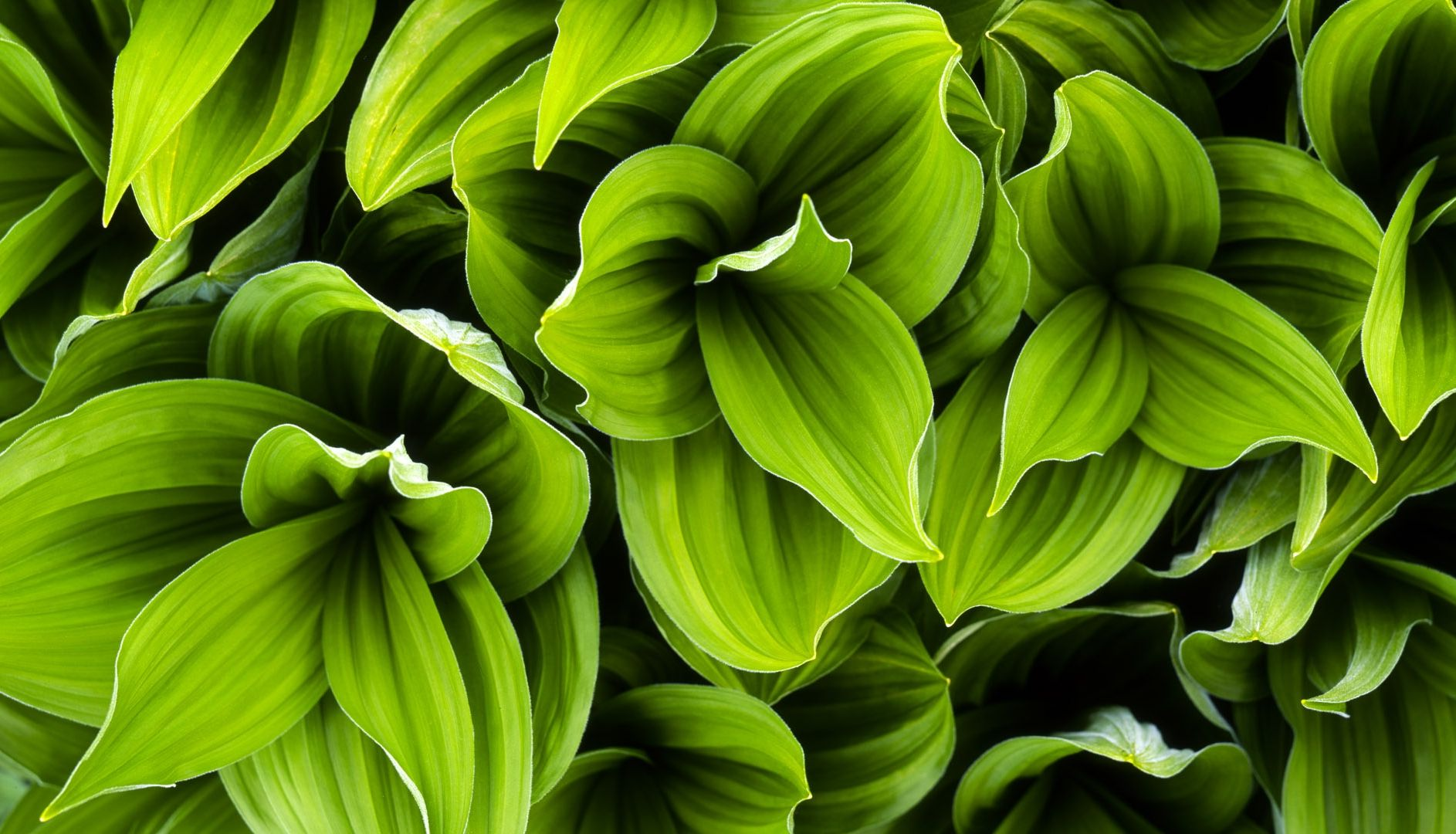green_leaves_background-other